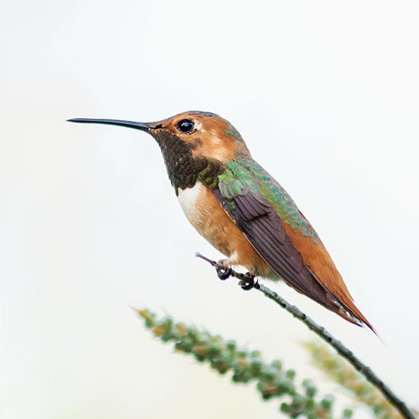 Allen's Hummingbird.