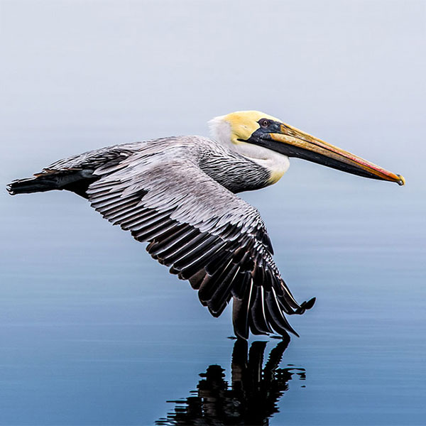 Brown Pelican.
