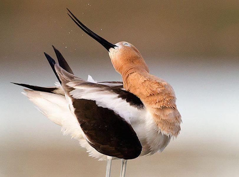 American Avocet. Photo: Melissa Groo/Audubon Photography Awards