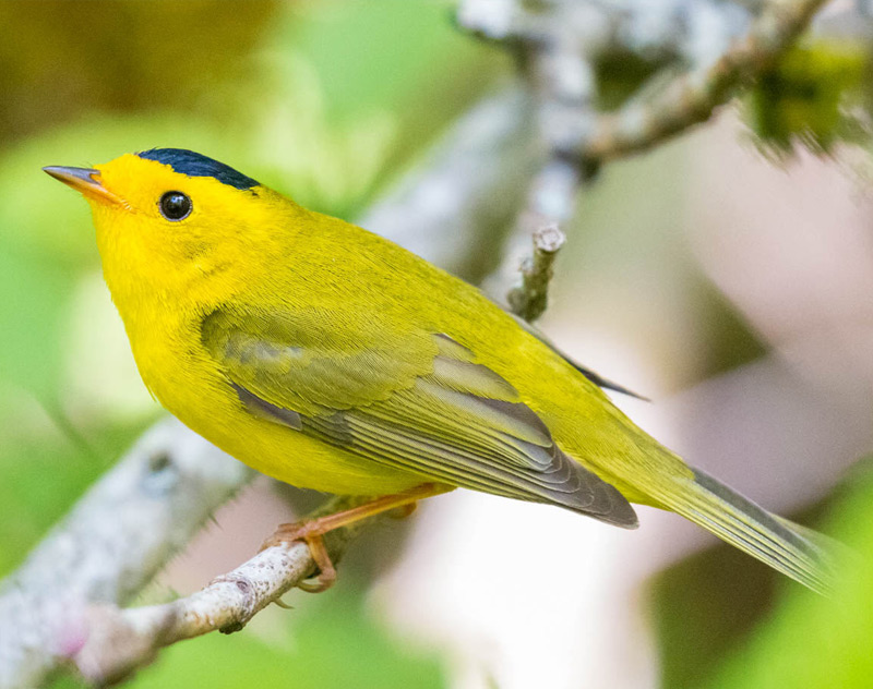 Wilson's Warbler | Andrew A. Reding